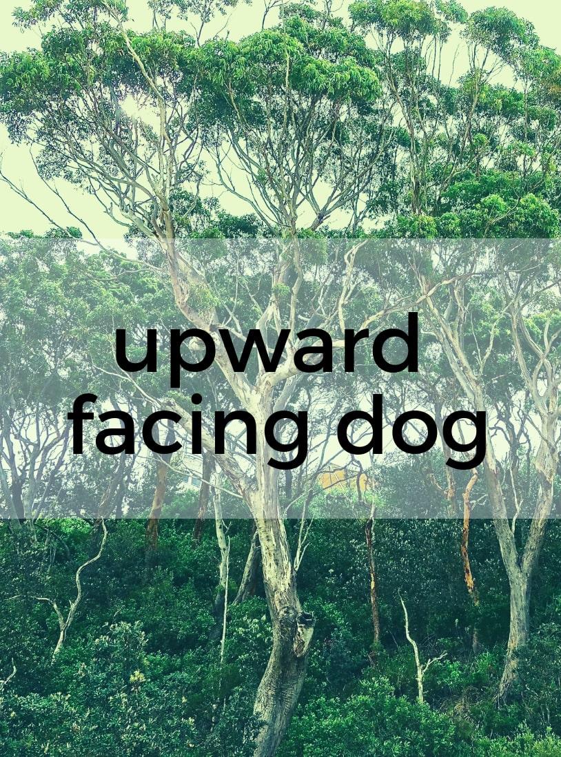 Upward Facing Dog Pure Hot Yoga Bayswater Melbourne Yoga Classes